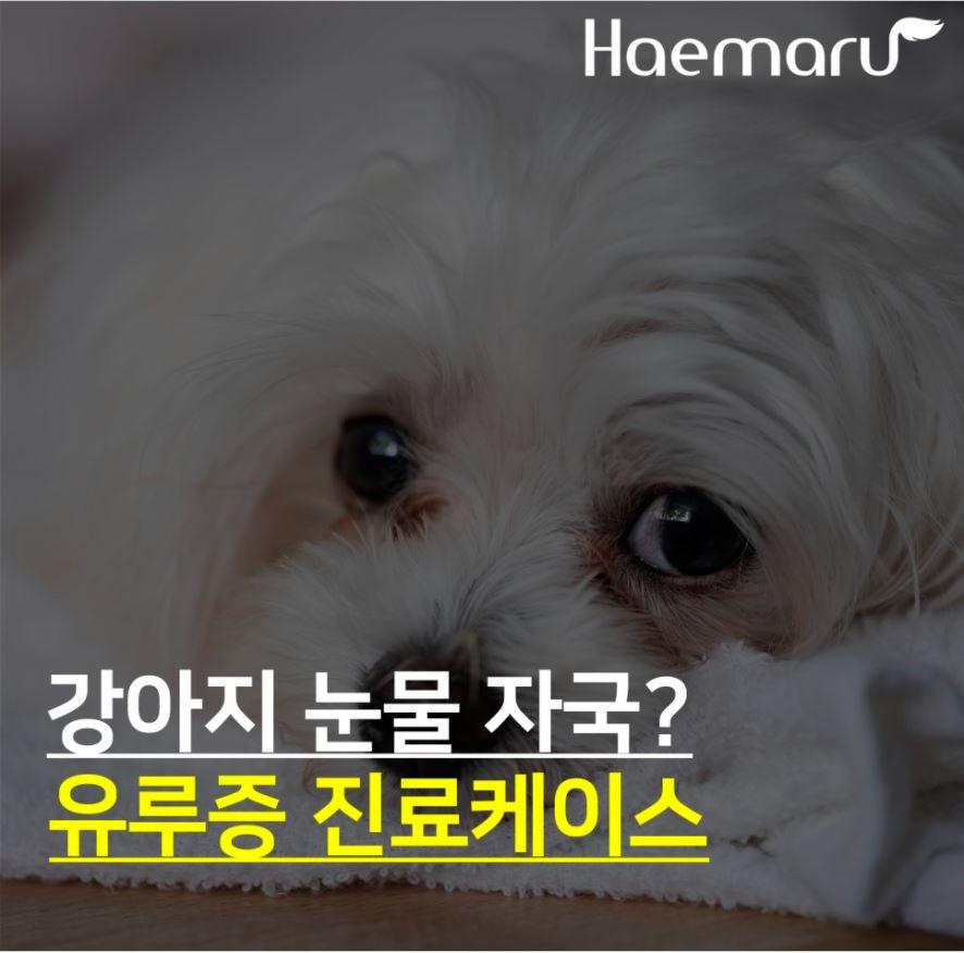 강아지 눈물 자국, 눈물 냄새? 강아지 유루증 진료케이스 썸네일